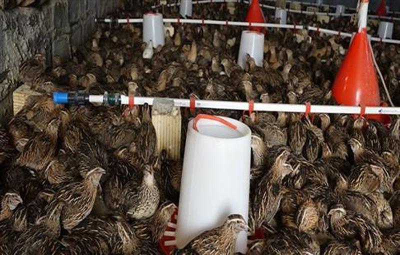 تجهیزات مربوط به پرورش بلدرچین بر روی بستر چهارشاخ وفر مرغداری کنترل دما مرغداری