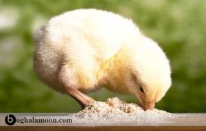 عوامل تاثیر گذار جوجه در آوری تخم مرغ