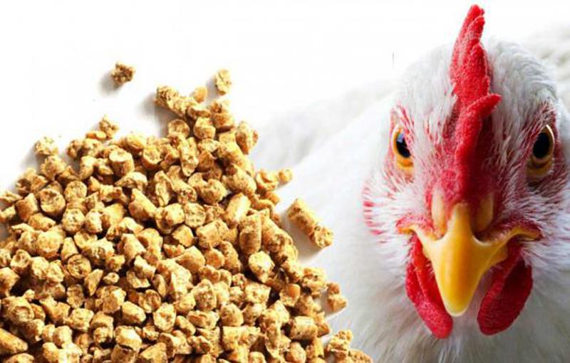 جیره غذایی و تأثیر آن بر بیماریهای عفونی در پرورش مرغ ارگانیک