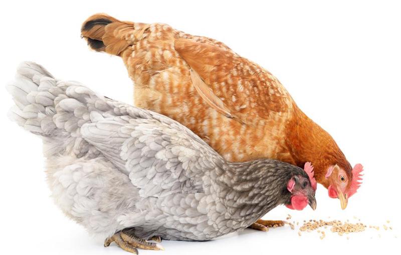 محدودیتهای استفاده موادخوراکی در جیره های ارگانیک
