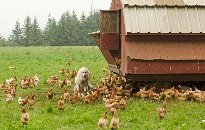 راهنمای تبدیل زمین کشاورزی برای پرورش مرغ ارگانیک