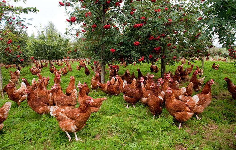 مدیریت محدوده پرورش مرغ ارگانیک