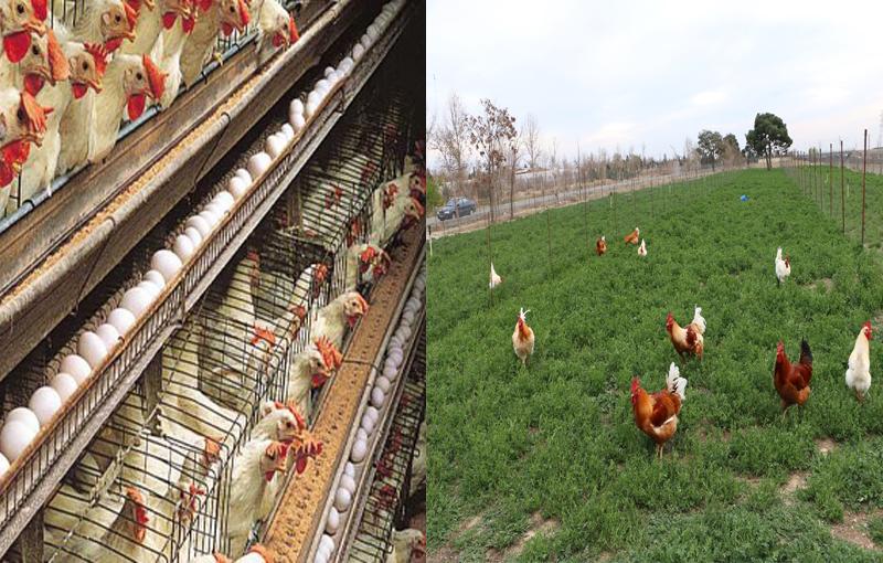 استانداردهای پرورش مرغ ارگانیک