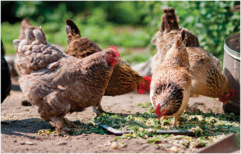 شرایط عناصر تغذیه ای جهت استفاده در جیره غذایی مرغ ارگانیک