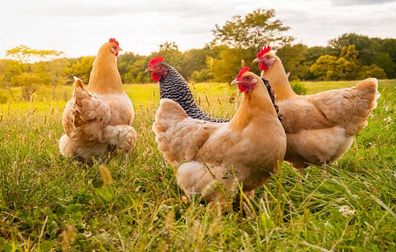 تاریخچه پرورش مرغ ارگانیک در ایران