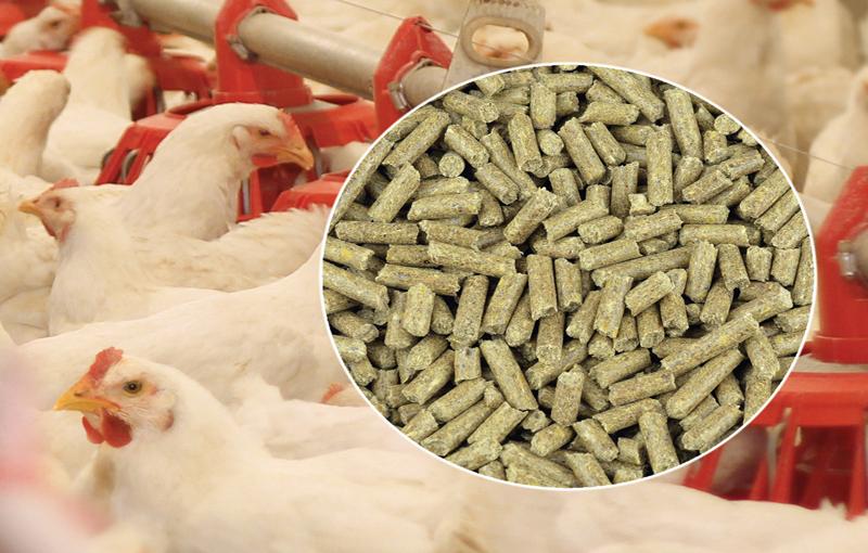 برنامه های تغذیه ای در پرورش مرغ ارگانیک