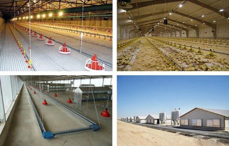 راهنمای کامل پرورش مرغ ارگانیک