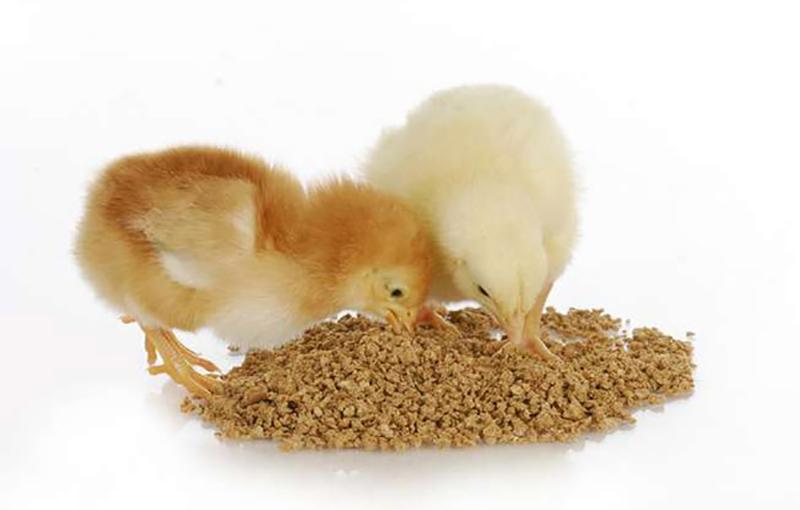 اهمیت تغذیه جوجه ها بعد از هچ و رابطه آن با عملکرد گله 1