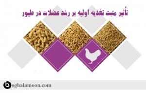 تأثیر مثبت تغذیه اولیه بر رشد عضلات در طیور