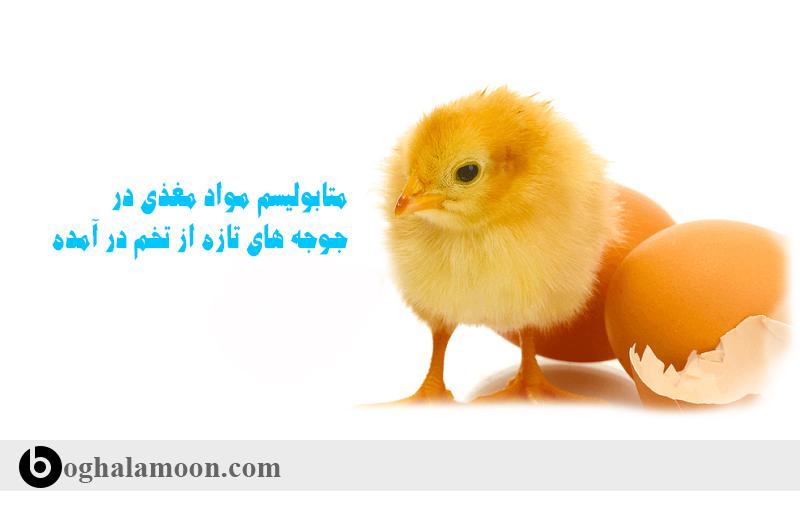 متابولیسم مواد مغذی در جوجه های تازه از تخم در آمده1