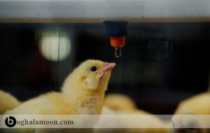 بررسی مصرف آب در طیور گوشتی