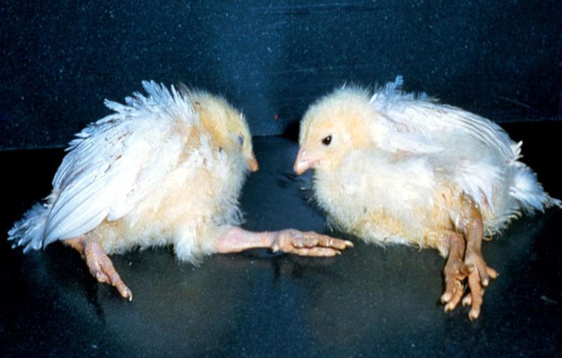 پیشگیری و کنترل بیماریهای رئوویروس های مرغی بیماری سندرم افت تخم مرغ